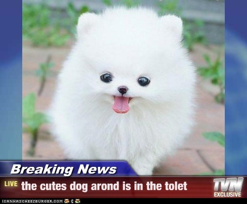 Breaking News - the cutes dog arond is in the tolet