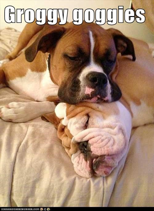 dogs,bulldog,pile up,wrinkles,groggy,droopy,boxer,sleeping