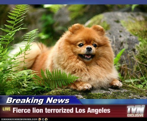 Breaking News - Fierce lion terrorized Los Angeles