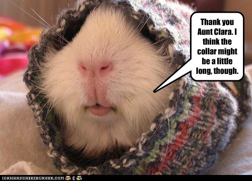 guinea pigs,knitting,sweater,aunt,collar