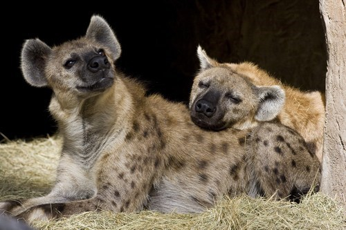 Creepicute: Hyenas