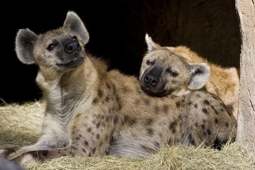 Creepicute: Hyenas