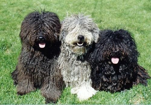 dogs,puli,goggie ob teh week,komondor,herding dog