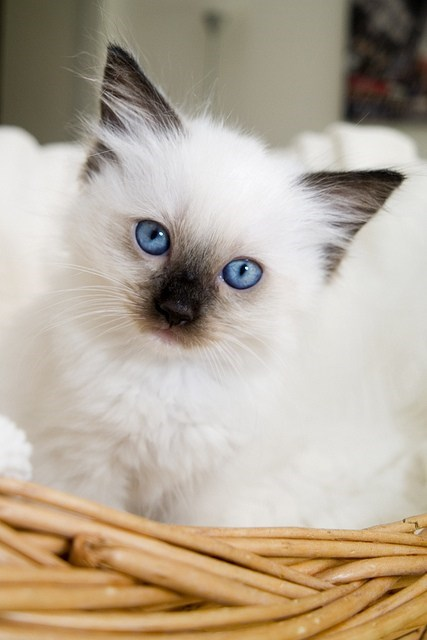 Cyoot Kitteh of teh Day: Blue-Eyed Belle of the Ball