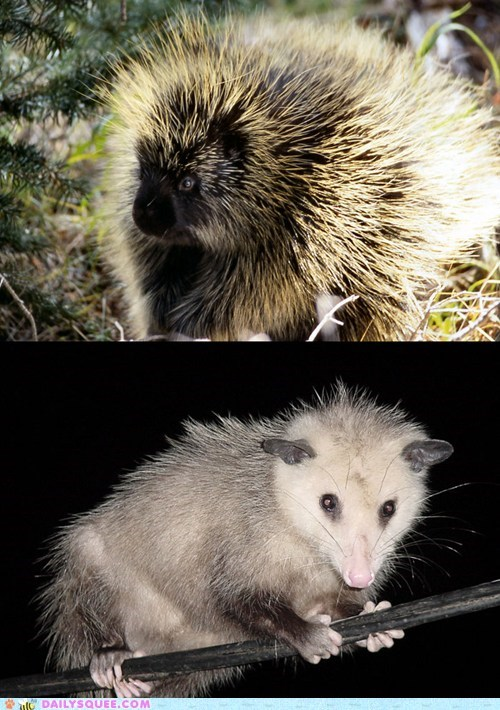Squee Spree: Porcupine vs. Possum