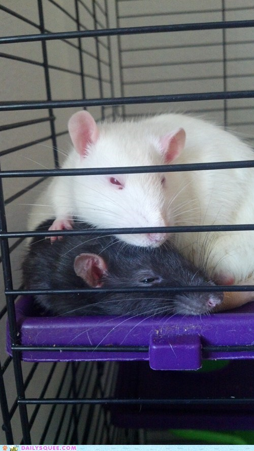 Reader Squee: Rat Nap!