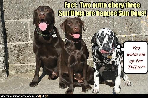 dogs,sleeping in,labradors,grumpy,Sundog,dalmatians