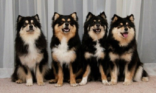 Goggie ob teh Week: Finnish Lapphund Wins!
