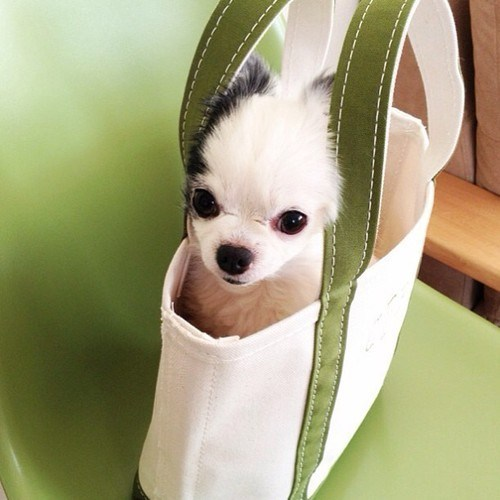 Cyoot Puppy ob teh Day: Chihuahua Tote