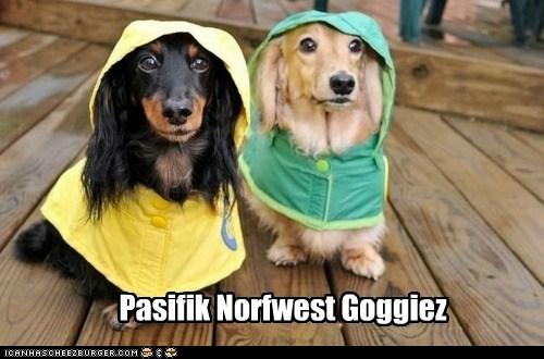 dogs,pacific northwest,raincoats,raining,umbrellas,dachshunds