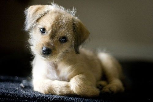 Cyoot Puppy ob teh Day: Scruffy