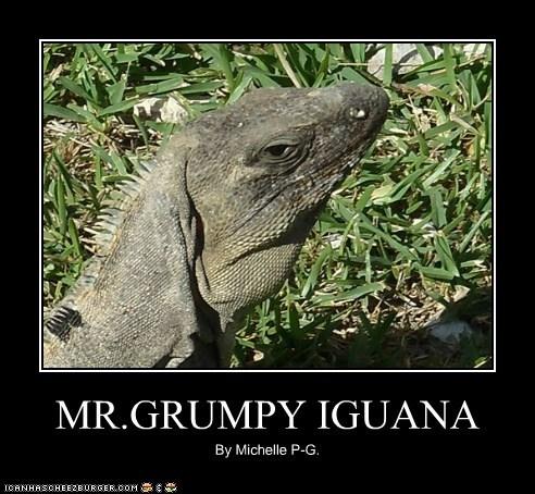 MR.GRUMPY IGUANA