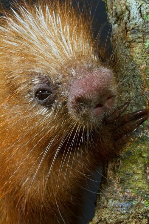 porcupine,nose,close up,spines,squee spree,squee,whiskers