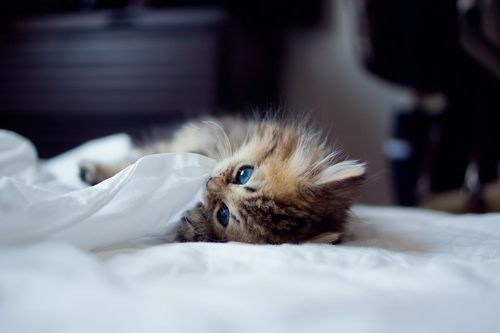 cyoot kitteh of teh day,bed,sheets,kitten,play