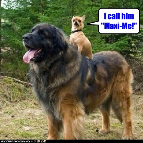dogs,maximize,mini me,chihuahua,mastiffs