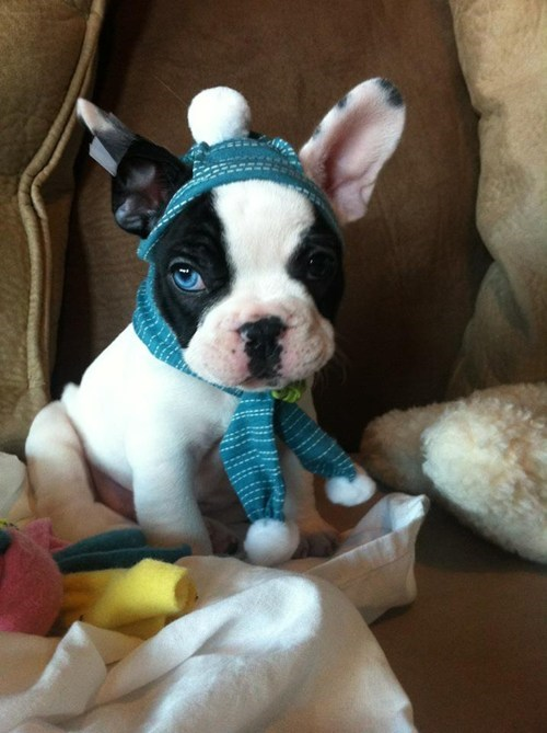 Cyoot Puppy ob teh Day: Frenchie Keepin' Warm