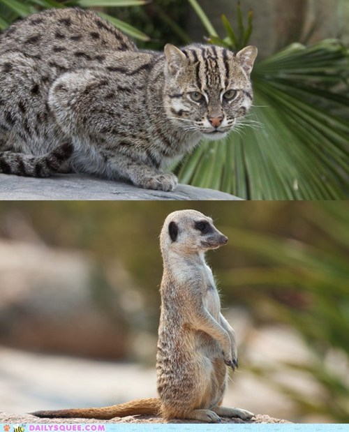 Squee Spree: Fishing Cat vs. Meerkat