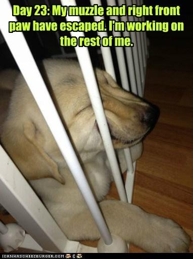 dogs,escape,puppies,labradors