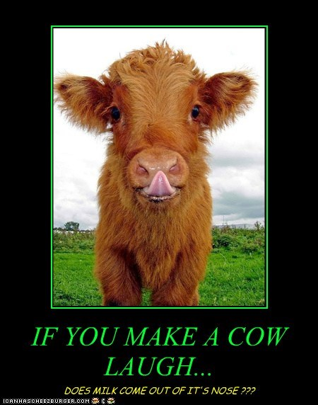 IF YOU MAKE A COW LAUGH...