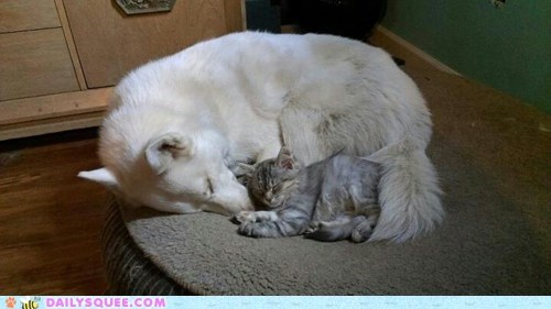 Reader Squee: Siberian Snuggle Up!