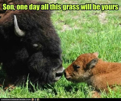 one day,bison,grass,dad,son