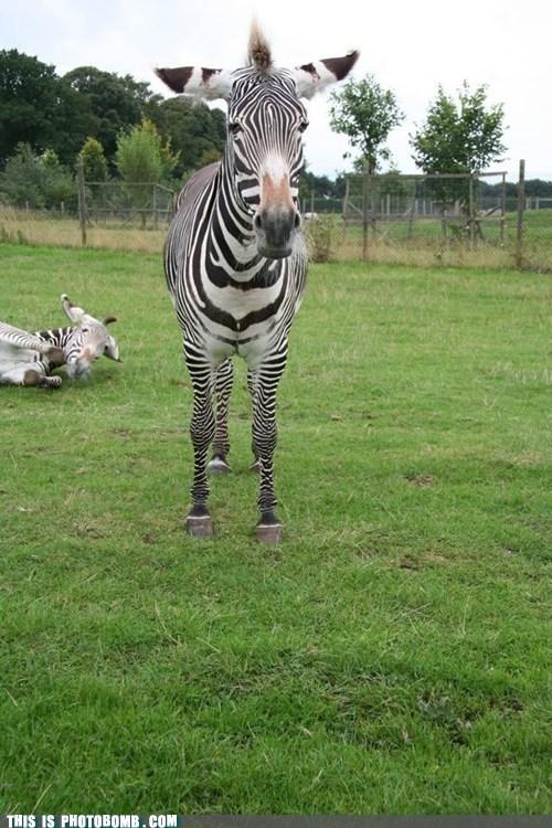 Zebra bomb