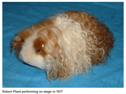 hair,led zeppelin,Music,robert plant,rock,guinea pig