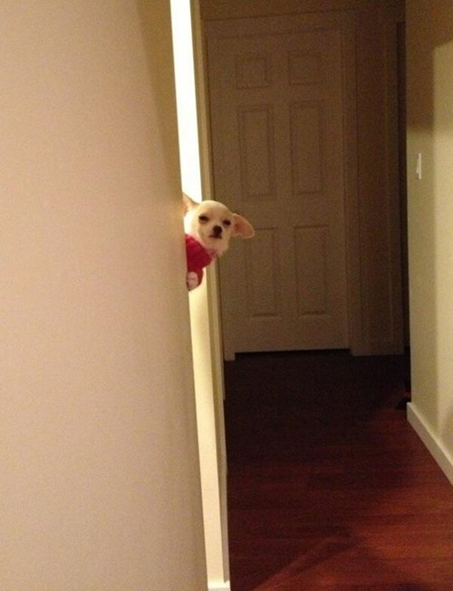 dogs,tall,creepy,Awkward,judgemental,stare,suspicious,chihuahua