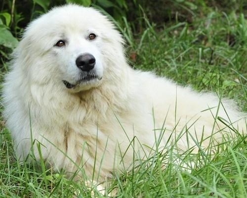 poll,goggie ob teh week,akbash dog,results,winner,dogs