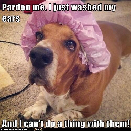 dogs,ears,shower cap,basset hounds,washing,showering