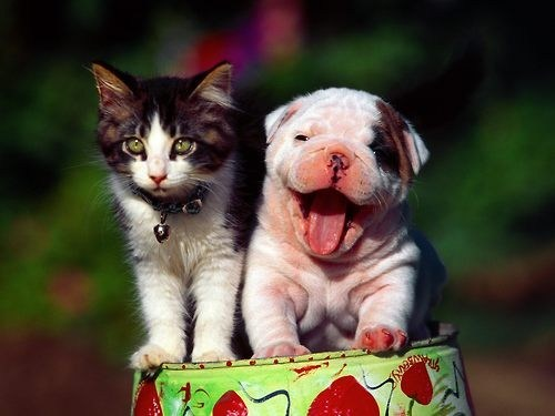 dogs,interspecies,puppy,kitten,goggies r owr friends,Cats,smile