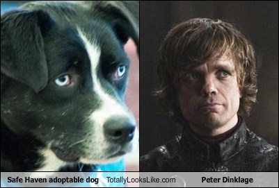 Safe Haven adoptable dog Totally Looks Like Peter Dinklage