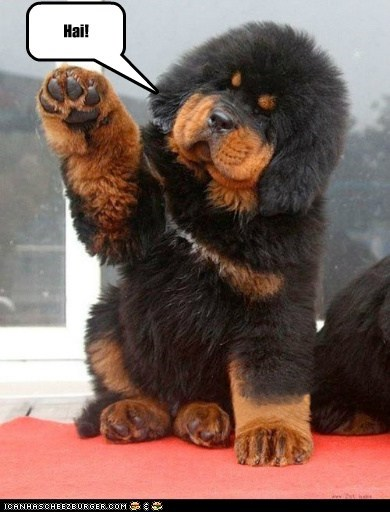 dogs,o hai,Fluffy,tibetan mastiff