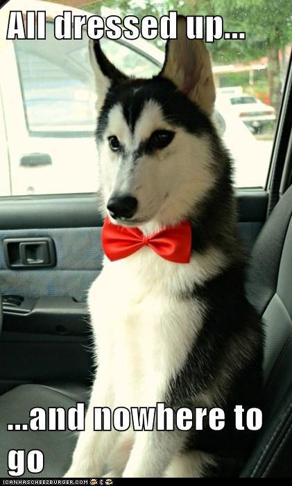 fancy,dogs,huskies,bowties,dressed up