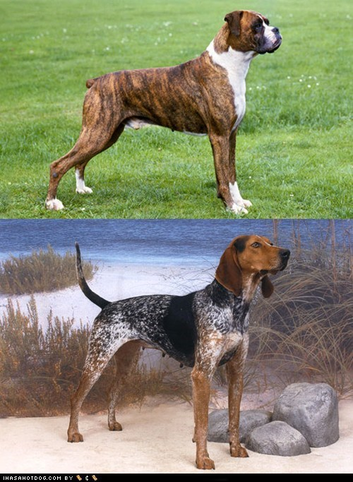 Goggie ob teh Week FACE OFF: Boxer vs. English Coonhound