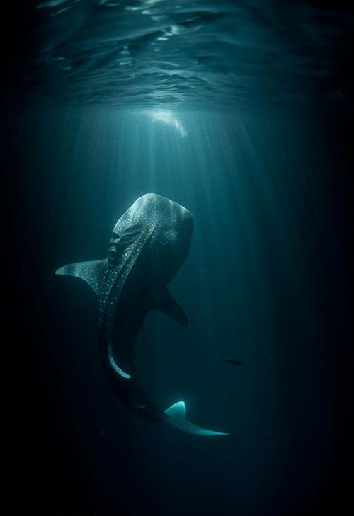 Whale Shark Encounter WIN