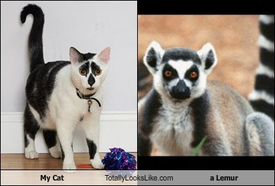 My Cat Totally Looks Like a Lemur