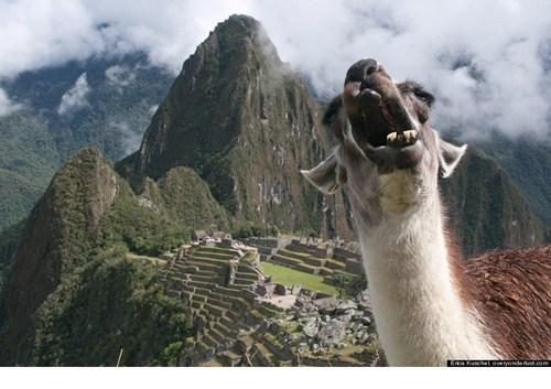 llama,yawn,machu picchu,animal,derp