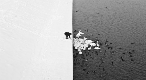Feeding the Swans in Krakow
