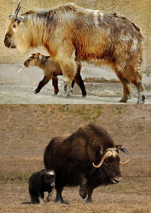 Squee Spree: Takin vs. Muskox