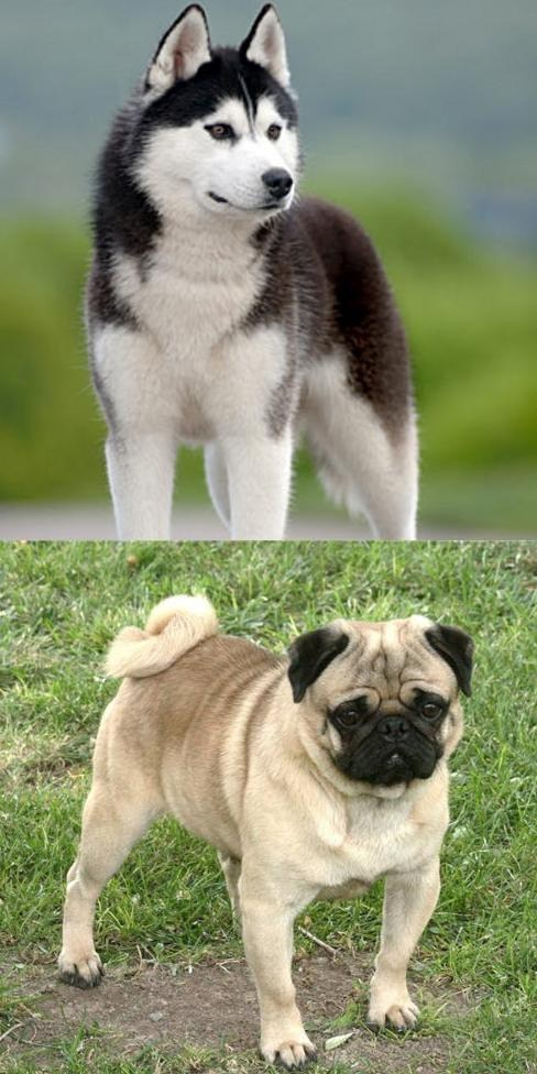 Goggie ob teh Week FACE OFF: Siberian Husky vs. Pug