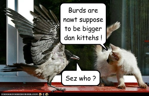 Burds are nawt suppose to be bigger dan kittehs !