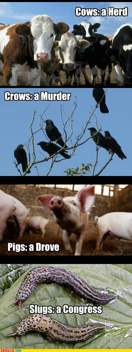 nouns,slugs,collective,animals,cows