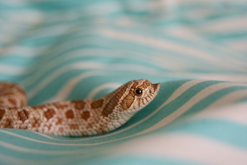 Zubon the Happy Hognose