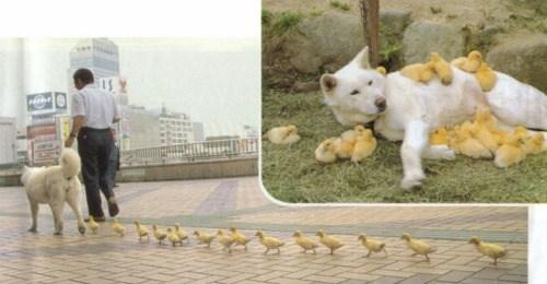 Ducklings Adopt Dog