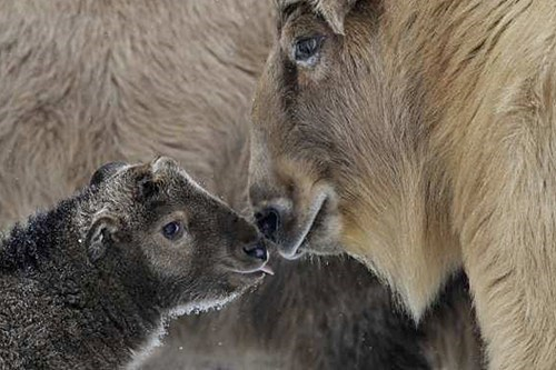 poll,baby,results,mommy,winner,squee spree,squee,himalayan,takin