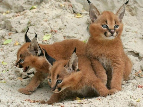 Caracal Cat kittens