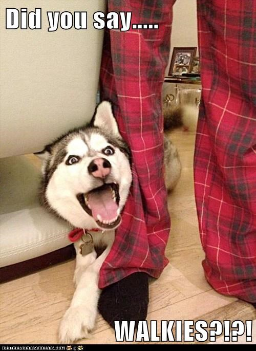 excited,dogs,walks,huskies,happy dog