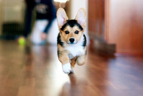 Cyoot Puppy ob teh Day: Here Comes Corgi