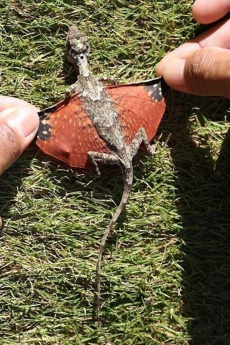 dragon,whatsit,wings,lizard,squee